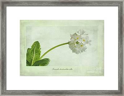 Primula Denticulata Alba Framed Print by John Edwards