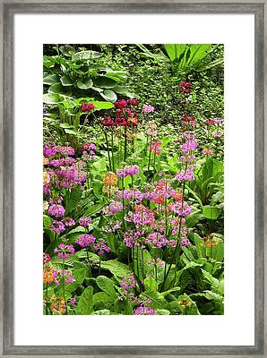 Primula 'harlow Carr Hybrids' Flowers Framed Print