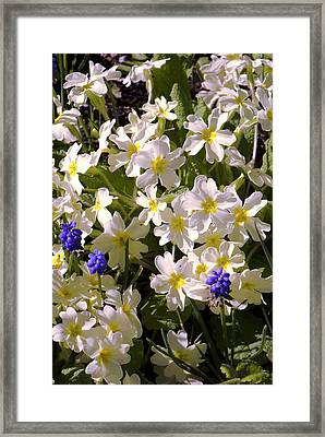 Primula 'mcwatt's Cream' Flowers Framed Print by Adrian Thomas