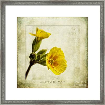 Primula Pacific Giant Yellow Framed Print by John Edwards