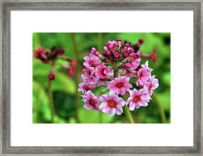 Primula Pulverulenta 'bartley' Flowers Framed Print by Colin Varndell