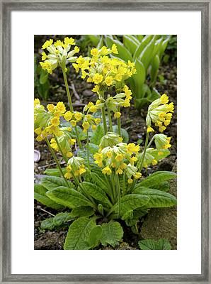 Primula Veris Flowers Framed Print by Adrian Thomas