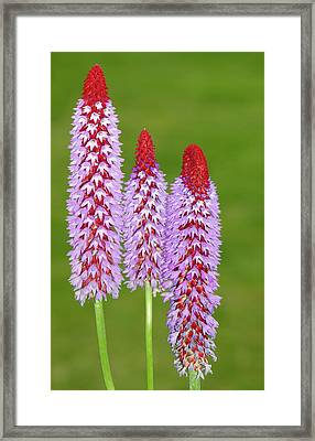 Primula Vialii Framed Print by Nigel Downer