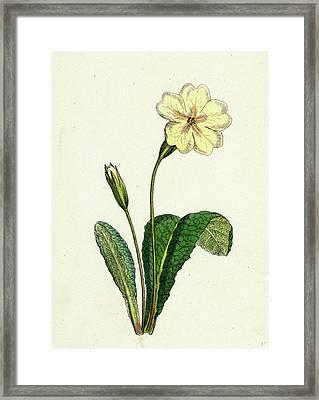 Primula Vulgaris Common Primrose Framed Print by English School