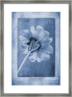 Primula Vulgaris Cyanotype Framed Print by John Edwards