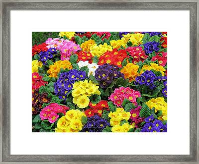 Primulae Framed Print by Gerry Bates