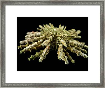 Prionocidaris Verticillata Framed Print by Natural History Museum, London