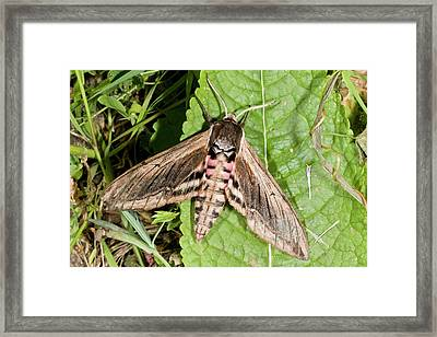 Privet Hawk-moth Framed Print by Bob Gibbons