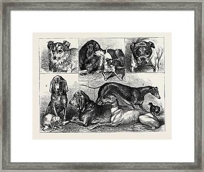 Prize Dogs At The Crystal Palace Show 1. Myrtle Framed Print
