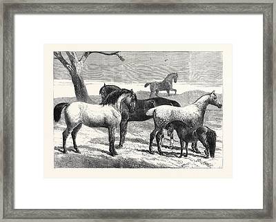 Prize Horses At The Horse Show In The Agricultural Hall Framed Print