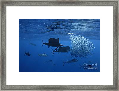 Prized Sail Fish Gamefish School Hunting Baitfish In Open Ocean Framed Print