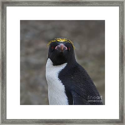 Professor Penguin... Framed Print by Nina Stavlund