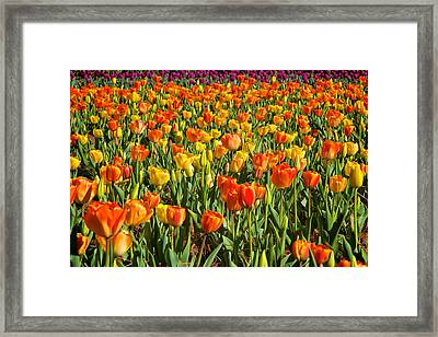 Profusion Of Tulips Biltmore Estate Nc Framed Print