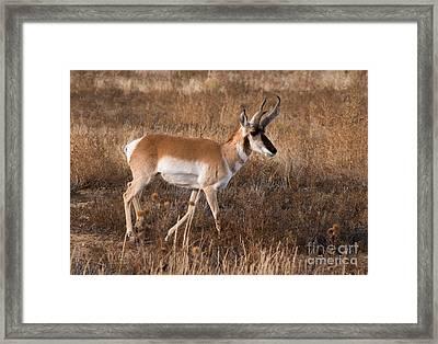 Pronghorn Antelope 2 Framed Print by Vivian Christopher