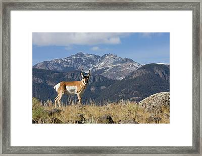 Pronghorn Antelope Buck, Electric Peak Framed Print