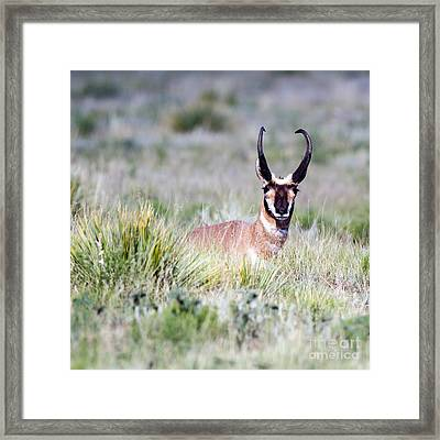 Pronghorn Buck In Prairie Grasses Framed Print