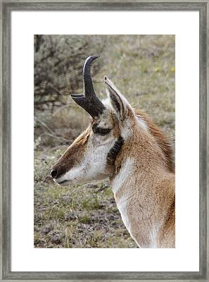 Pronghorn Buck Profile Framed Print by Jill Bell