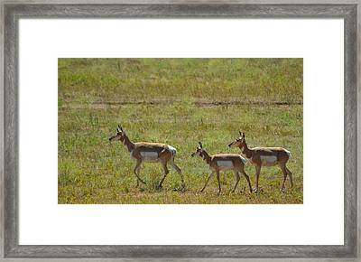 Pronghorn Framed Print by Dakota Light Photography By Dakota