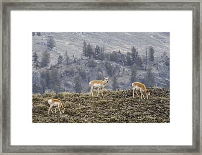 Pronghorn Does Framed Print by Jill Bell