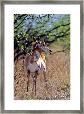 Pronghorn In Spring Framed Print