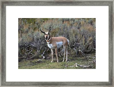 Pronghorn Framed Print