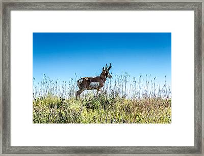 Pronghorn King Of The Mountain Framed Print