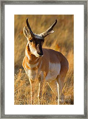 Framed Print featuring the photograph Pronghorn by Aaron Whittemore