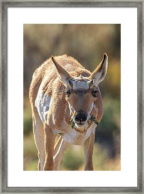 Pronghorn Yellowstone National Park Framed Print by Tom Norring