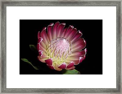 Protea Beauty Framed Print