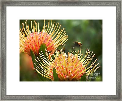 Framed Print featuring the photograph Protea Flowers Attracting Bee  by Alexandra Jordankova