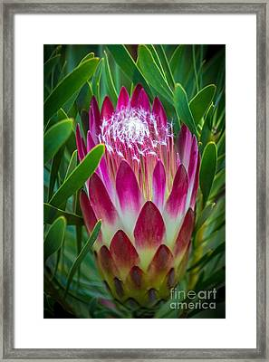 Protea In Pink Framed Print