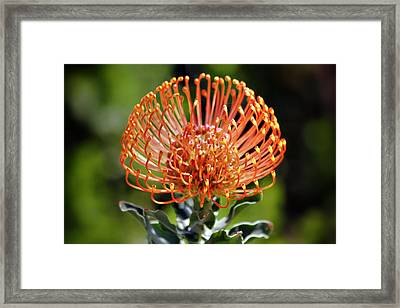 Protea - One Of The Oldest Flowers On Earth Framed Print