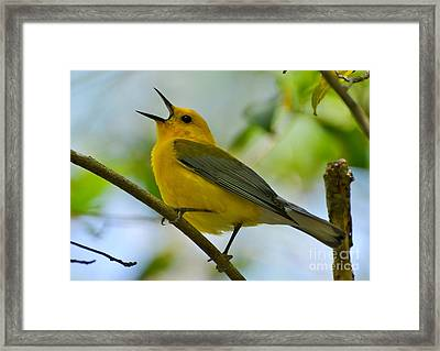 Prothonotary Warbler Singing Framed Print by Kathy Baccari