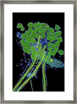 Protozoa And Desmids Framed Print