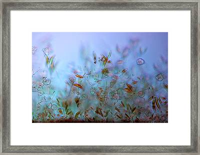 Protozoa And Diatoms In Periphyton Framed Print