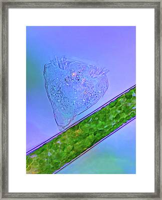 Protozoan On Green Algae Framed Print