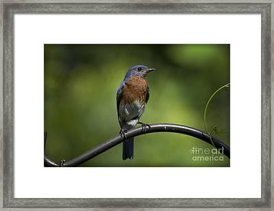 Proud Eastern Bluebird  Framed Print by Cris Hayes