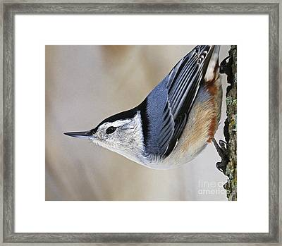 Proud Nuthatch... Framed Print