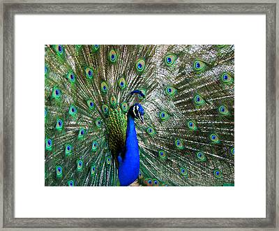 Proud Peacock Framed Print by Laurel Powell