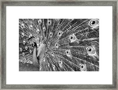 Proud Peacock Framed Print by Sean Davey
