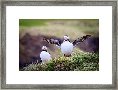 Proud Puffin Framed Print by Peta Thames
