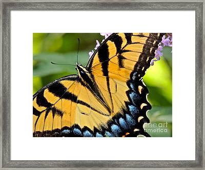 Proud Swallowtail Framed Print