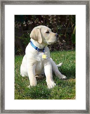 Proud Yellow Labrador Puppy Framed Print by Irina Sztukowski