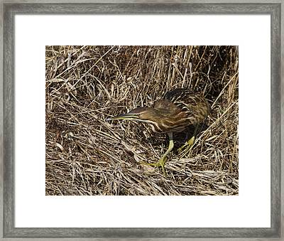 Prowling Bittern Framed Print by Angie Vogel