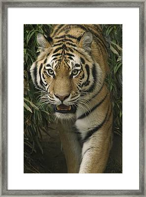 Framed Print featuring the photograph Prowling by Cheri McEachin