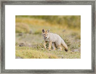 Prowling Gray Fox Framed Print by Tim Grams