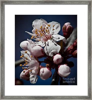Prunus Armeniaca In Bloom Framed Print