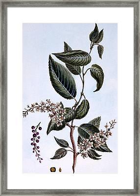 Prunus Padus Or Bird Cherry Framed Print by Pierre Joseph Buchoz