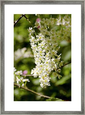 Prunus Padus 'watereri' Flowers Framed Print by Adrian Thomas