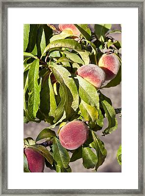 Prunus Persica 'garden Lady' Framed Print